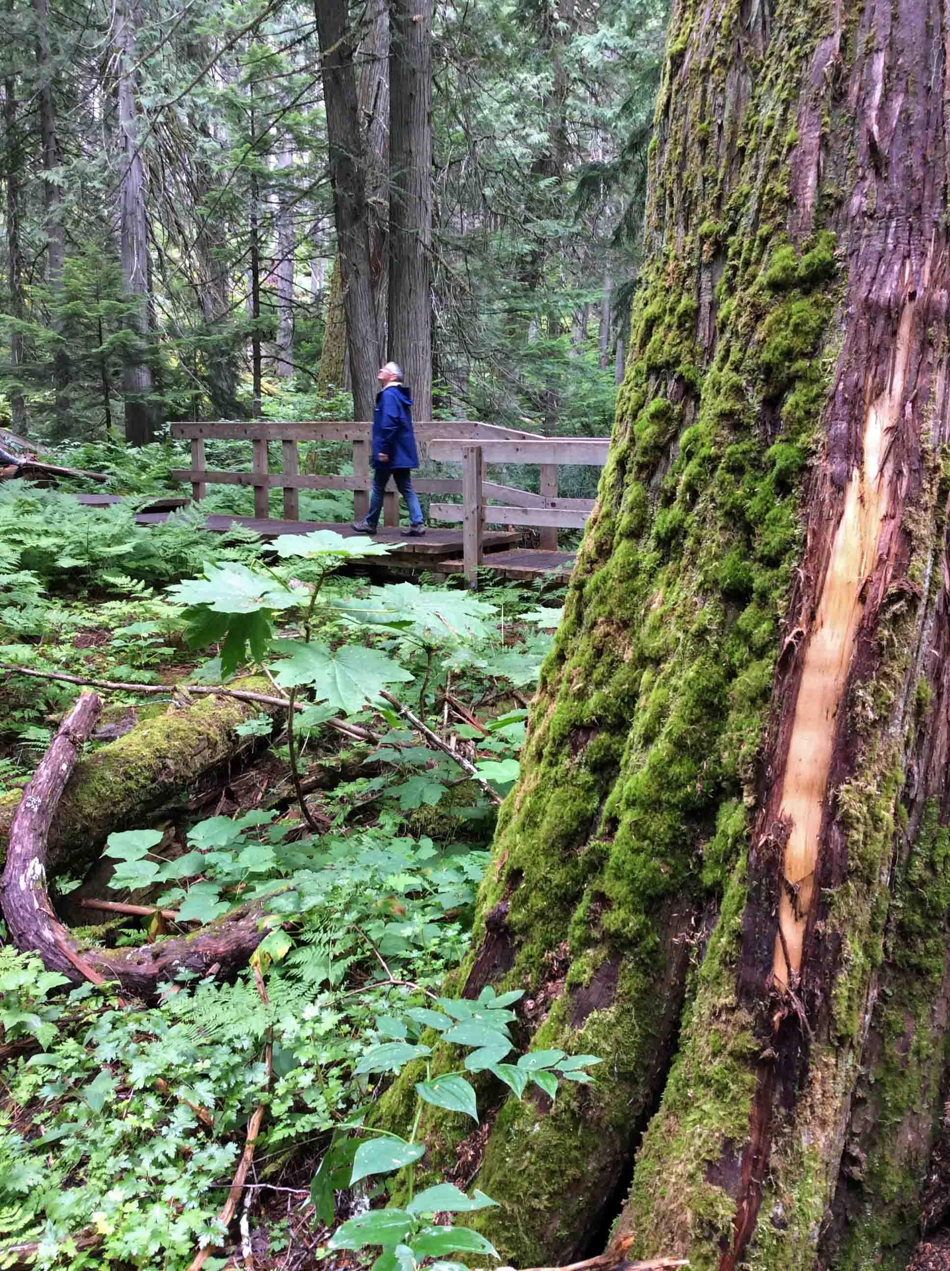 Anne-walking-Cedars