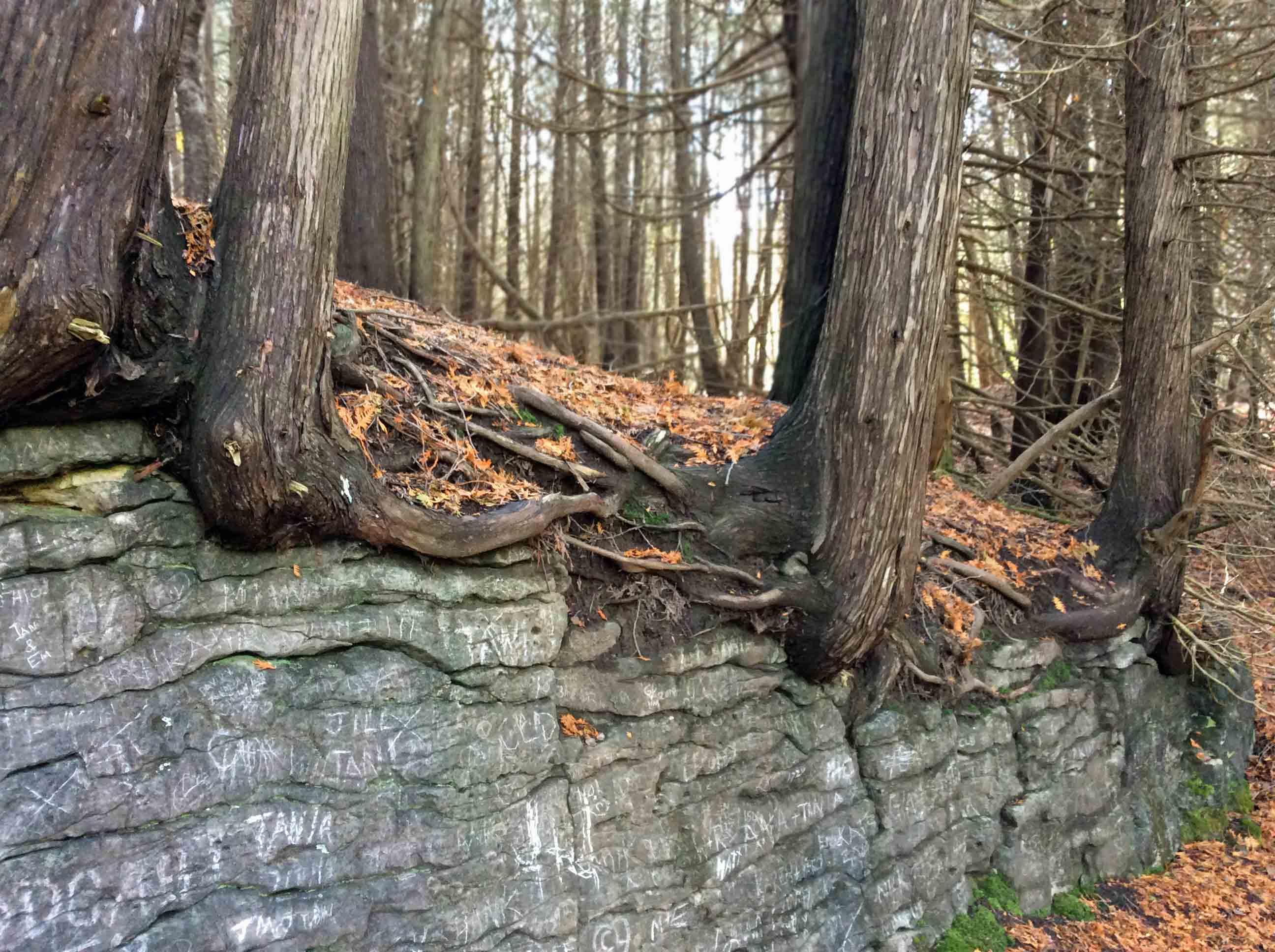 Cedars hug fence-EloraGorge