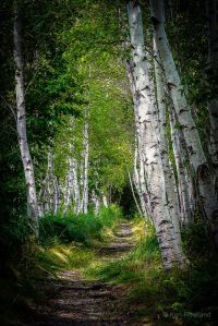 birch trees-path