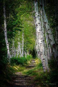birch trees-path