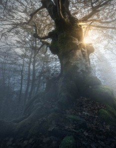 old beech in forest-enrico fossati