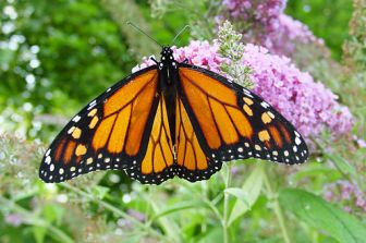 Male_monarch_butterfly-buddleia