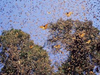 monarch-butterfly-migration