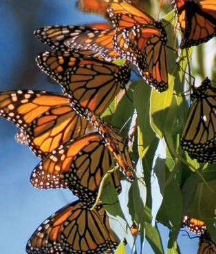 Monarch Butterfly (Danaus plexippus). Monarch Butterflies cluste
