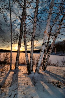 winter-birch-sunset-snow