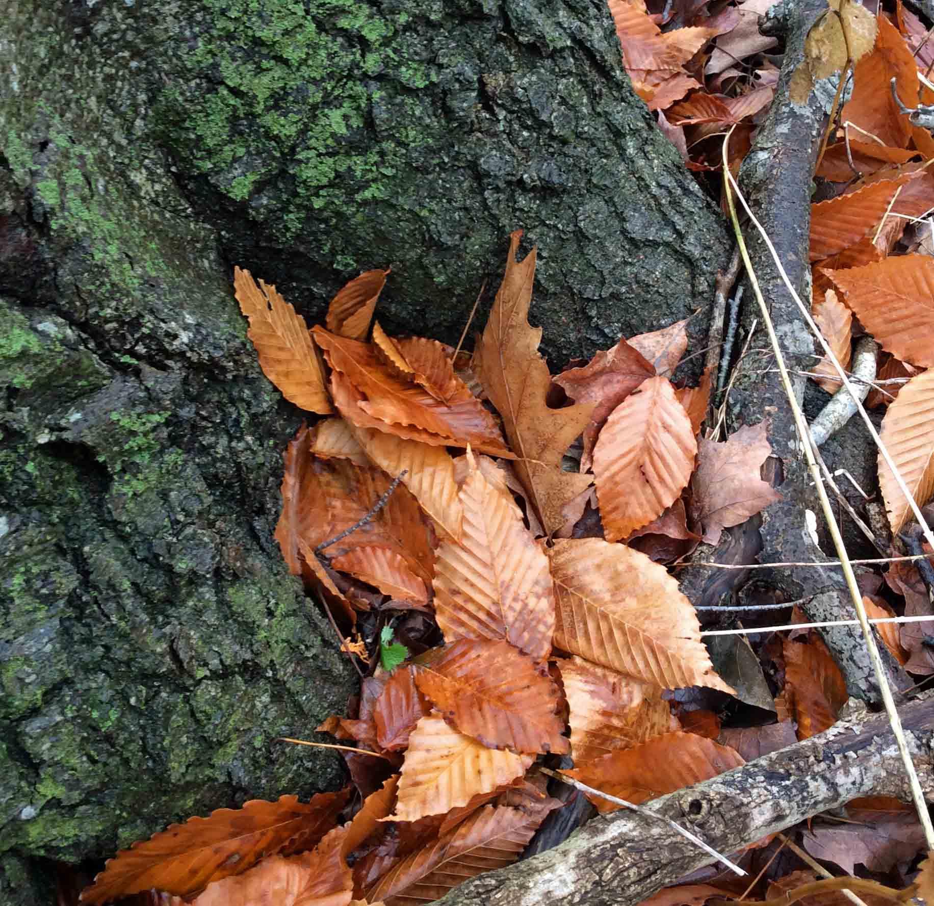 Beech-leaves-trunk LR