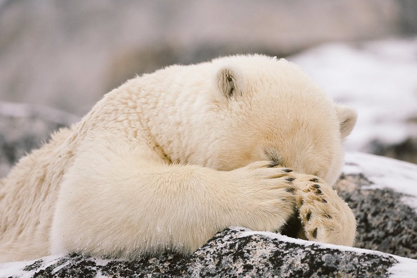 PolarBear-facepalm