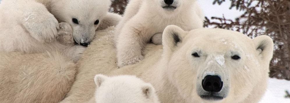 PolarBearMum-pups