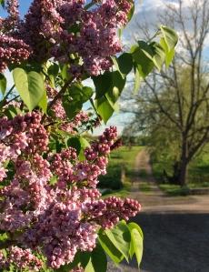 Lilac2-JoshuaCreekArtCentre