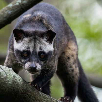 asian-palm-civet3