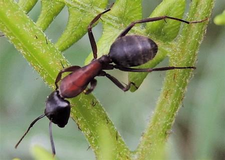 ant on bracken copy
