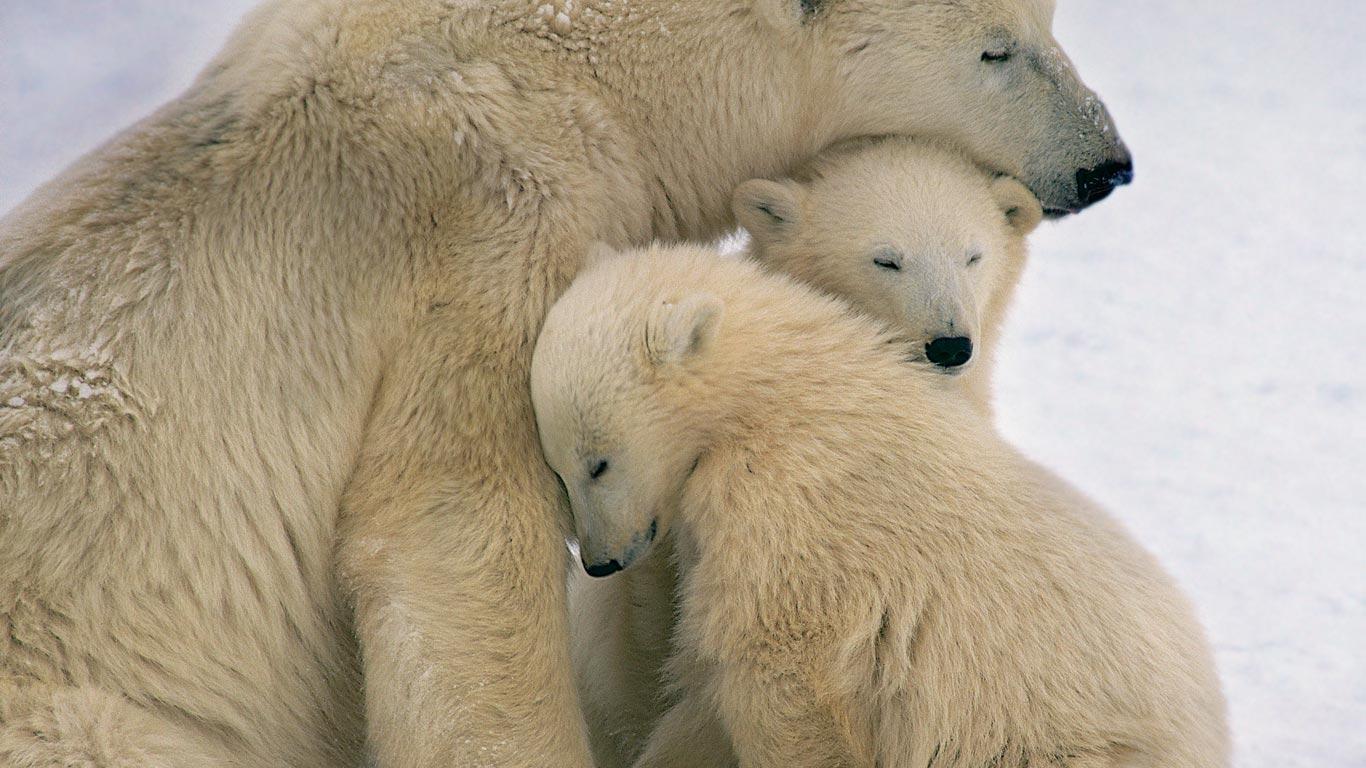 PolarMom 2 cubs