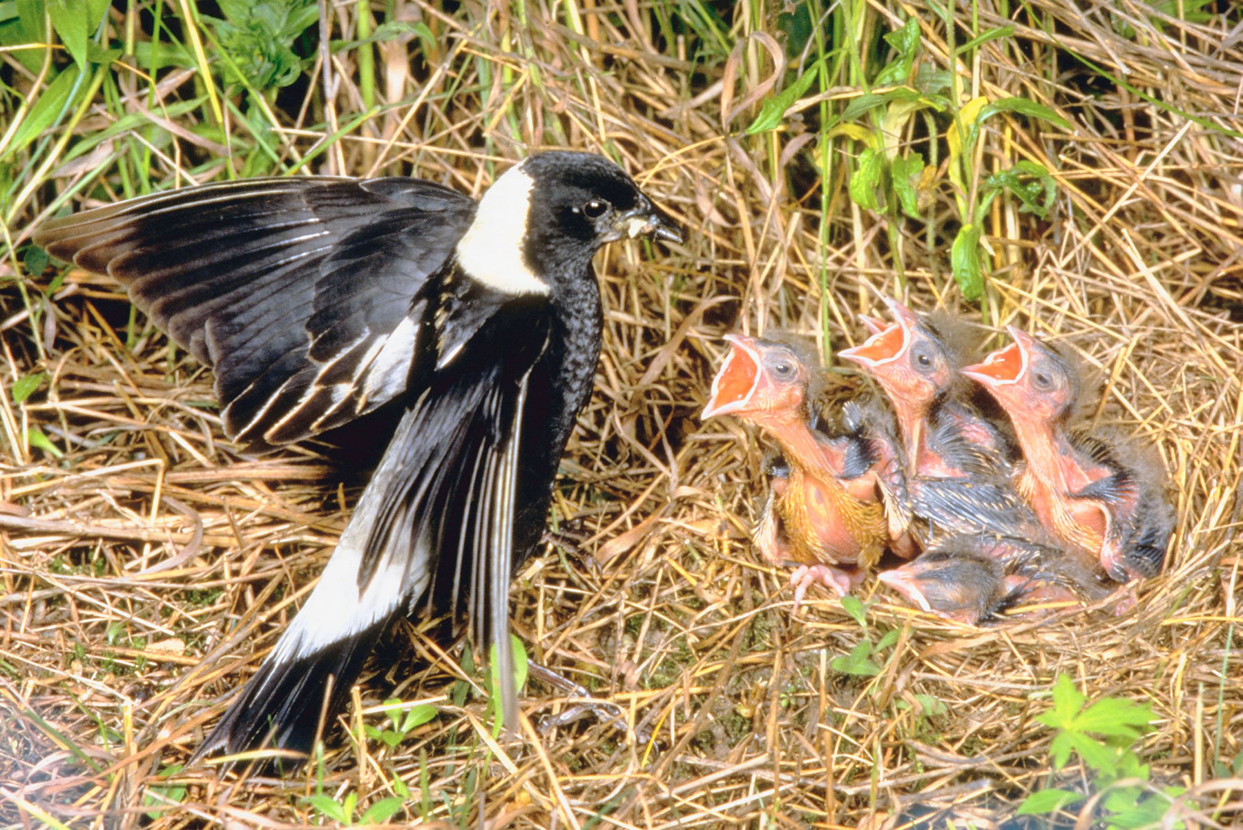 bobolink-chicks-mom