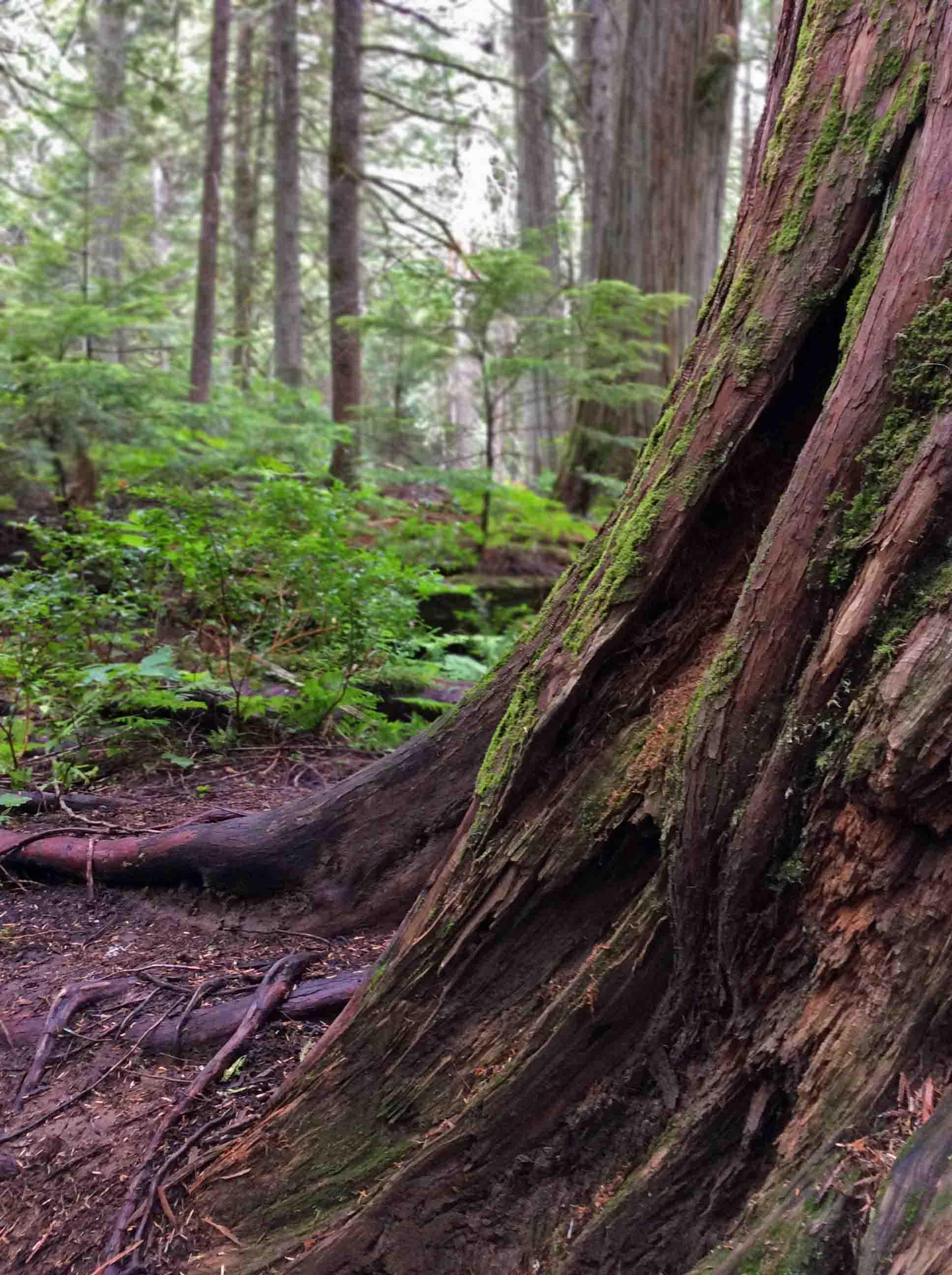 Old Cedar-RobsonPark2019