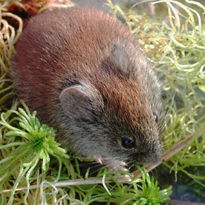 red-backed_vole