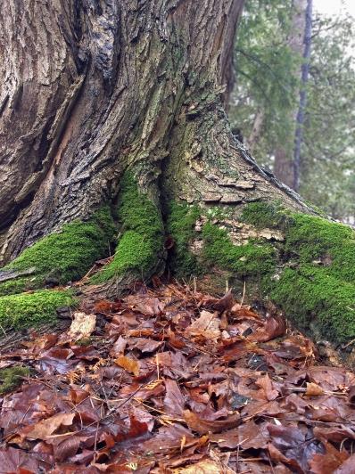 Cedar trunk base-LR