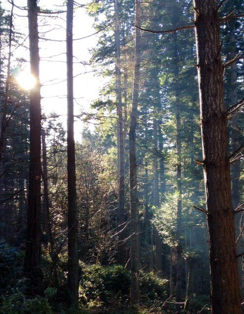 Forest conifers Metchosin