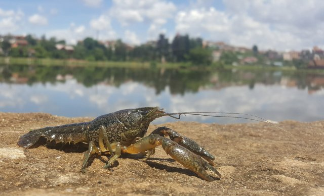 marbled-crayfish2