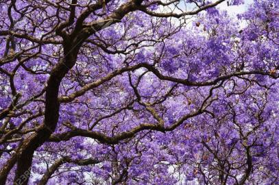 Beautiful violet vibrant jacaranda in bloom.