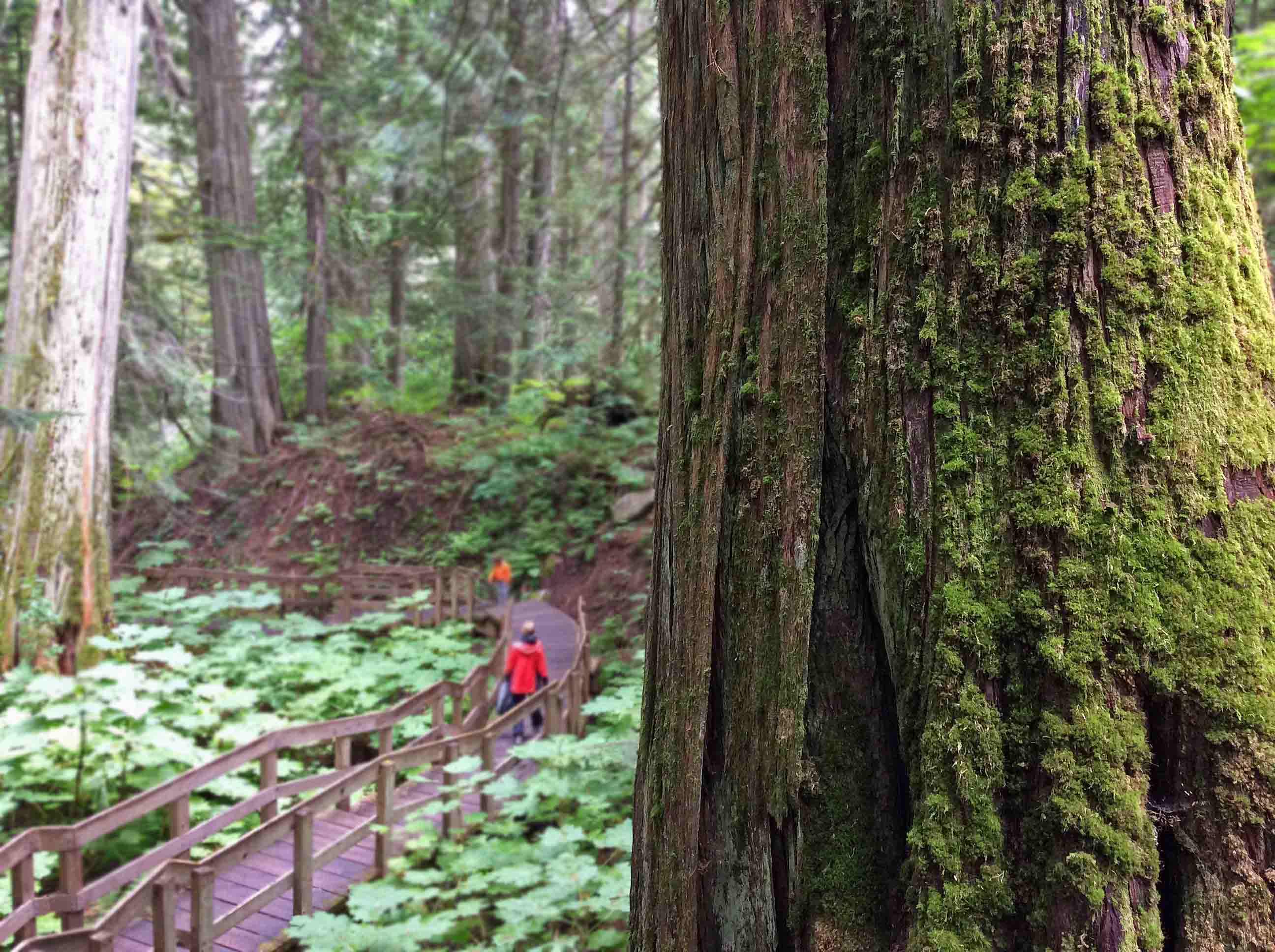 GiantCedars boardwalk2