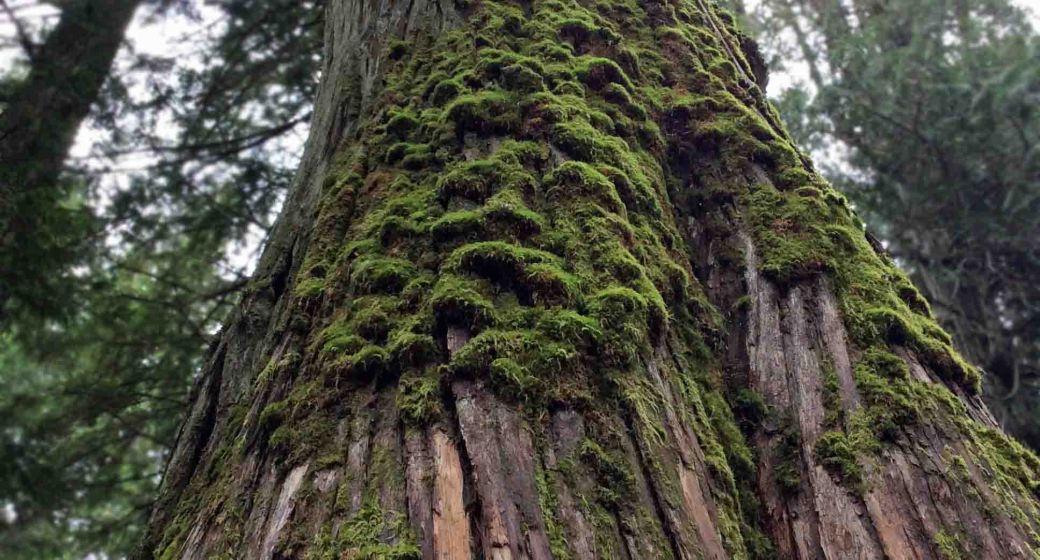 tall cedar-moss2 copy