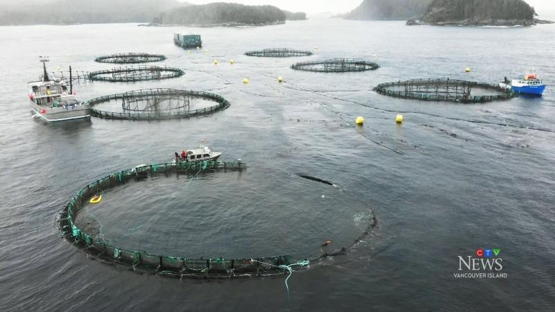 Atlantic salmon farm escape