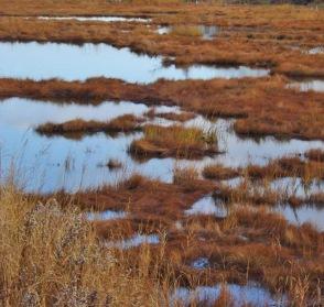 marsh-bog Rhea