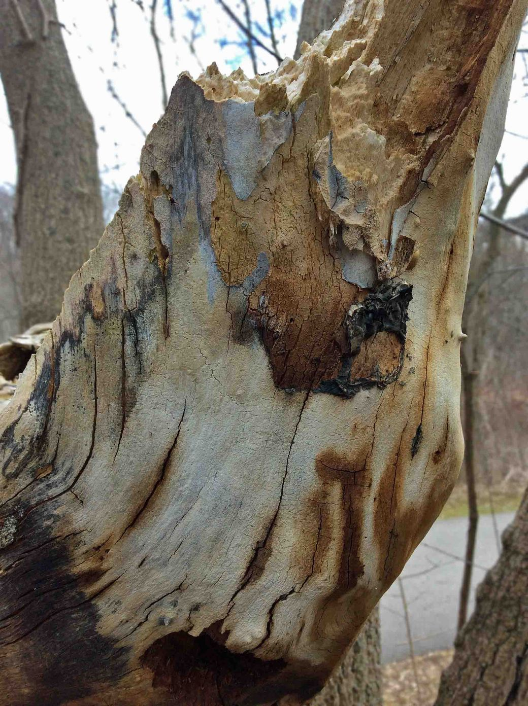 AshTree decaying-EastDonRiver