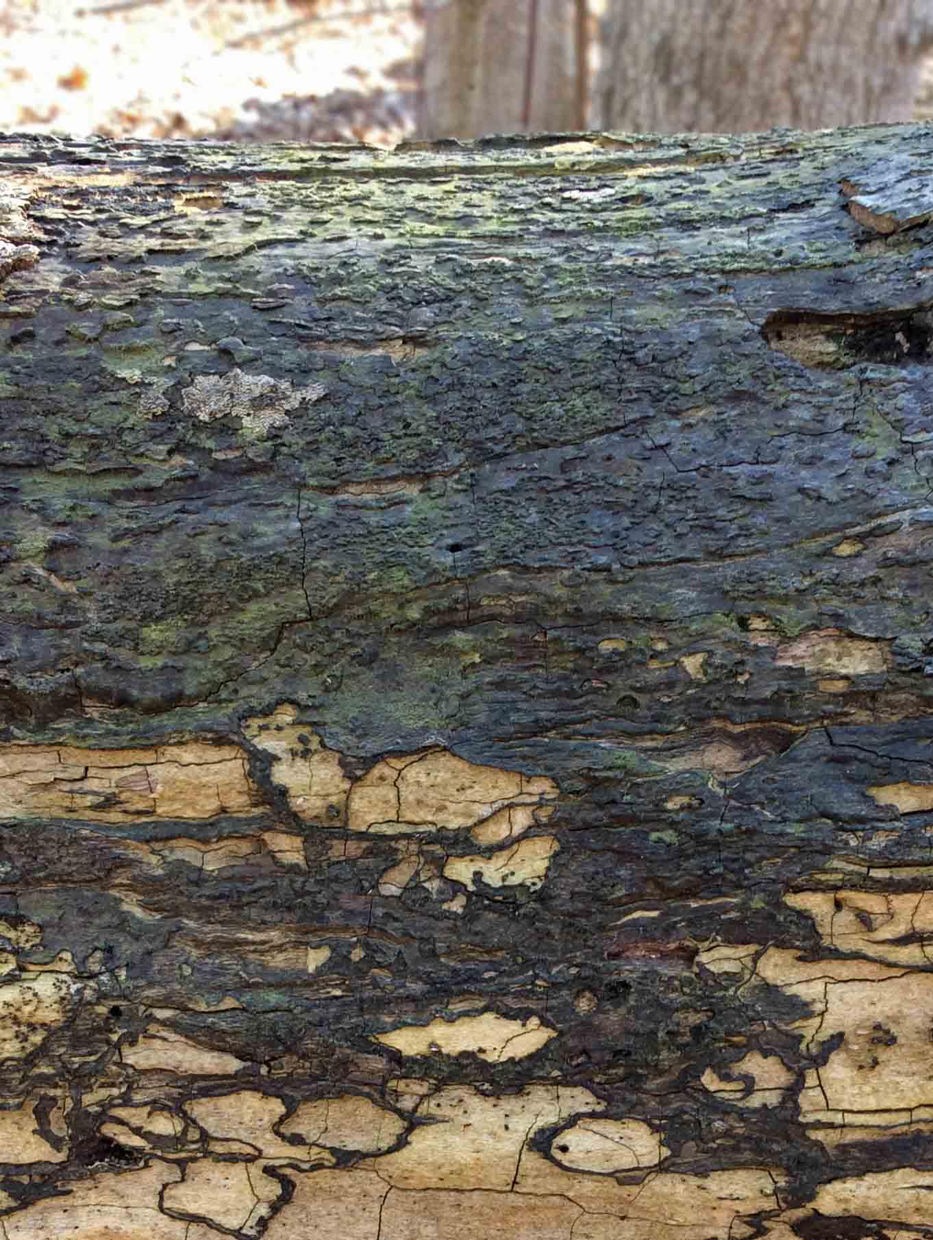Blue-green fungus on log