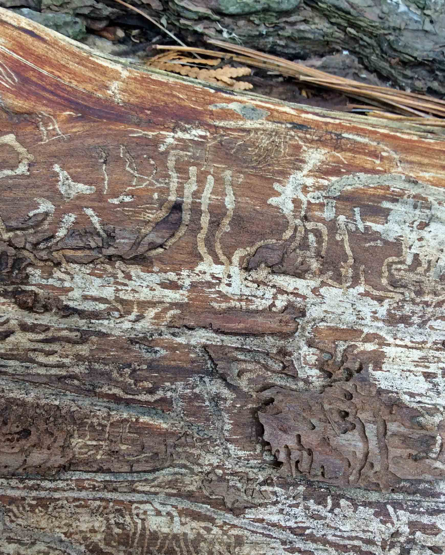 larval tracks in pine wood