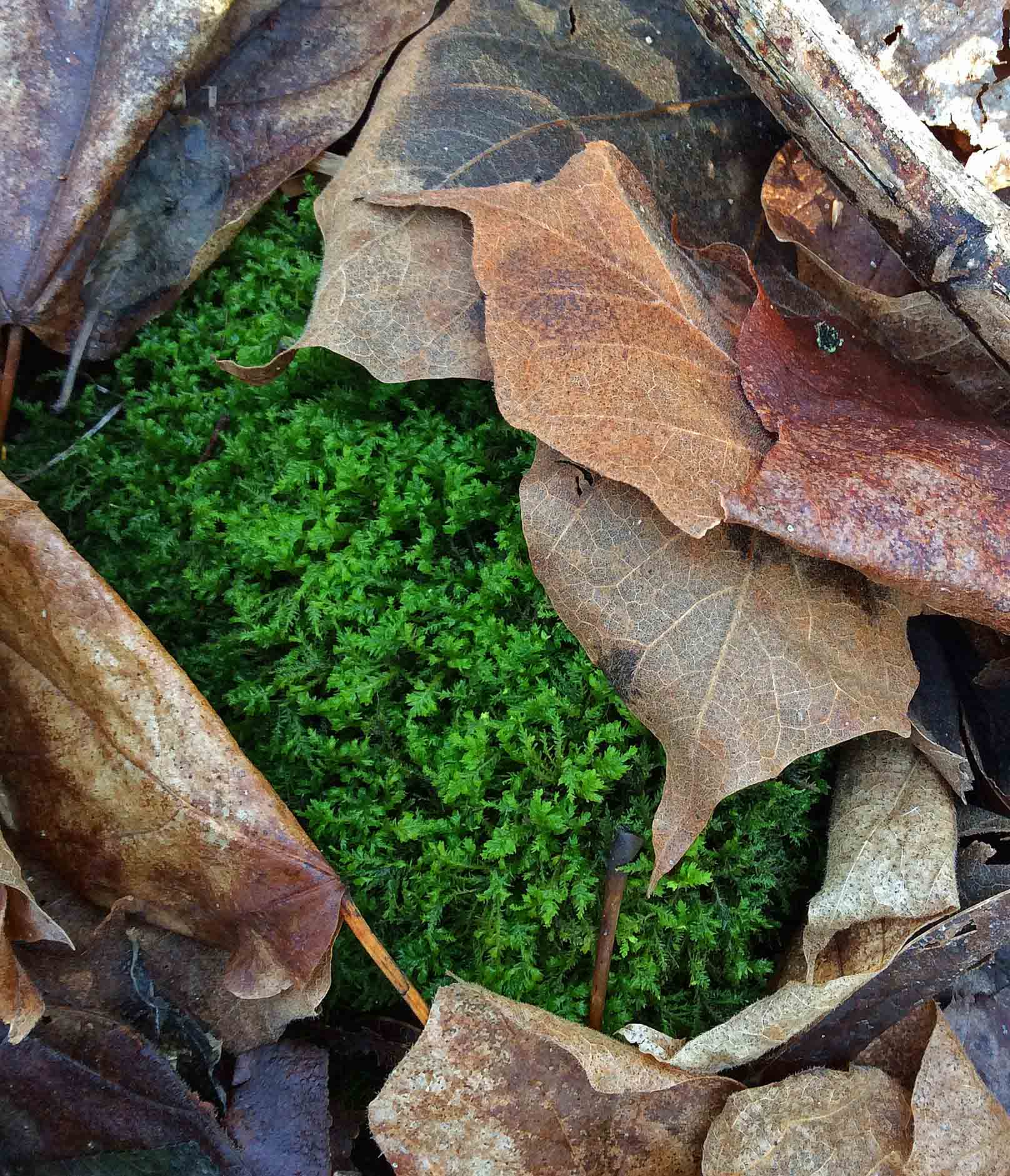 moss hiding under leaves