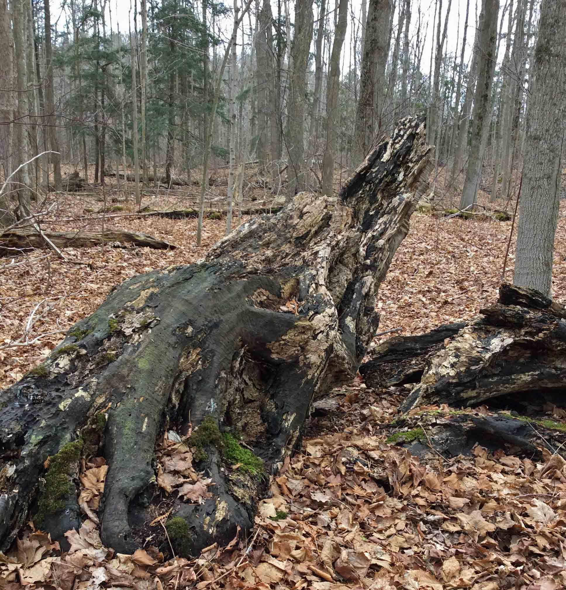rotting maple log