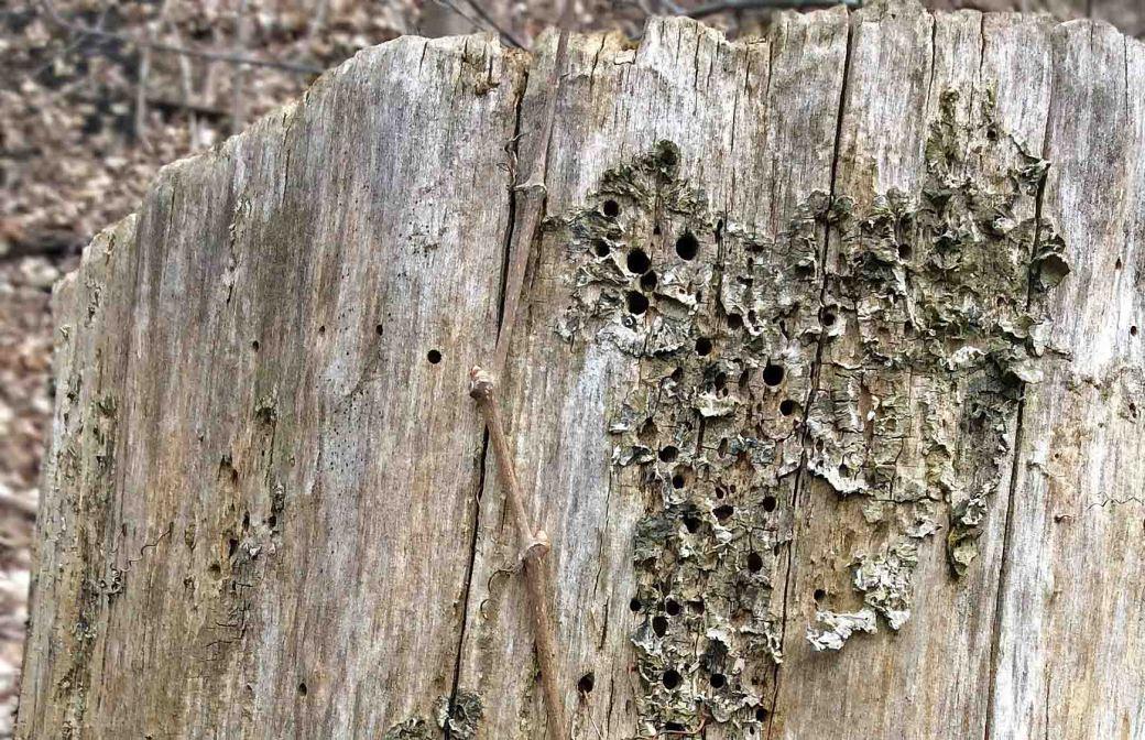 Tree-bore holes close-EDRpark