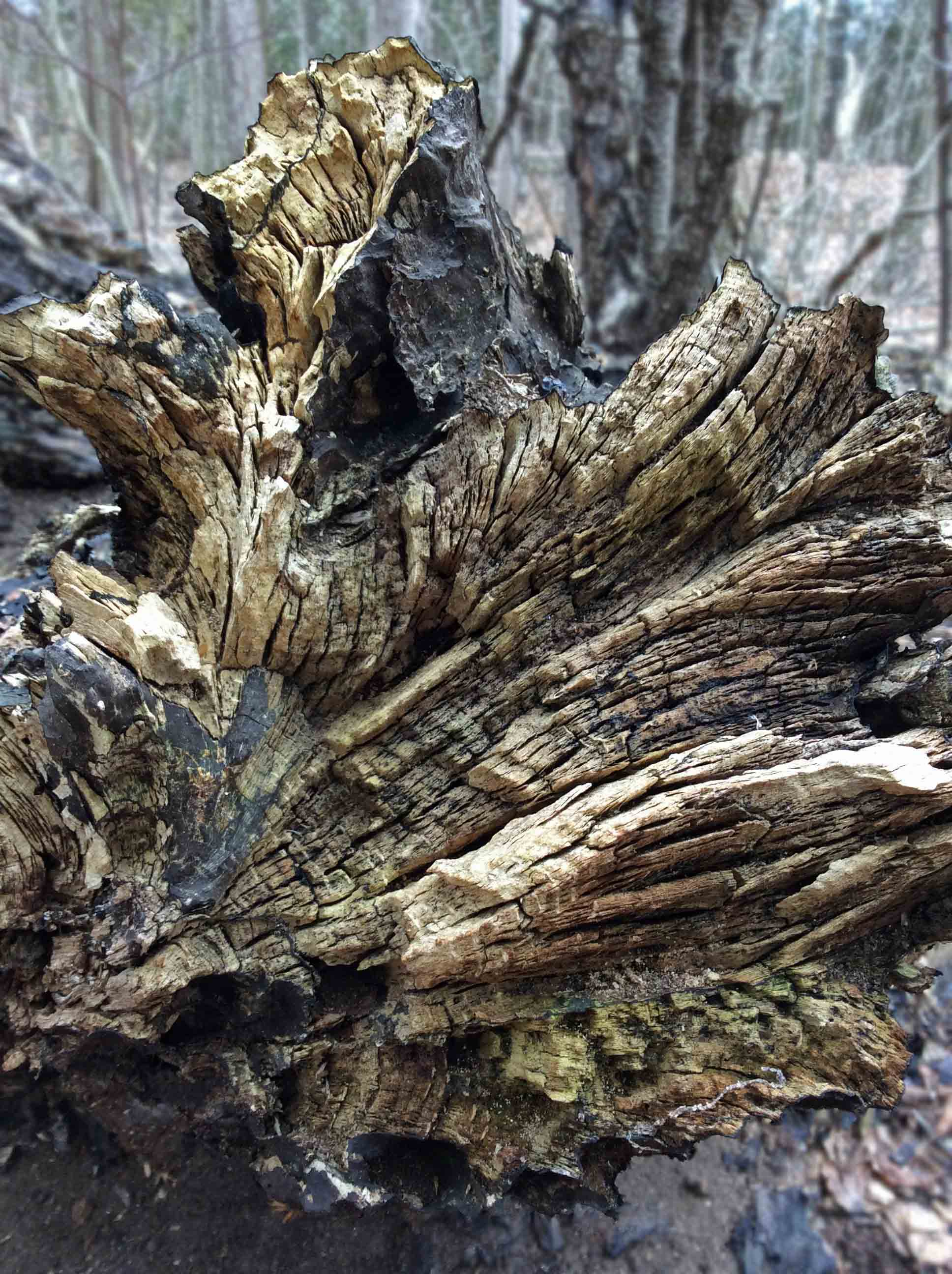 uprooted stump carbon cushion fungus