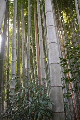 bamboo rising copy