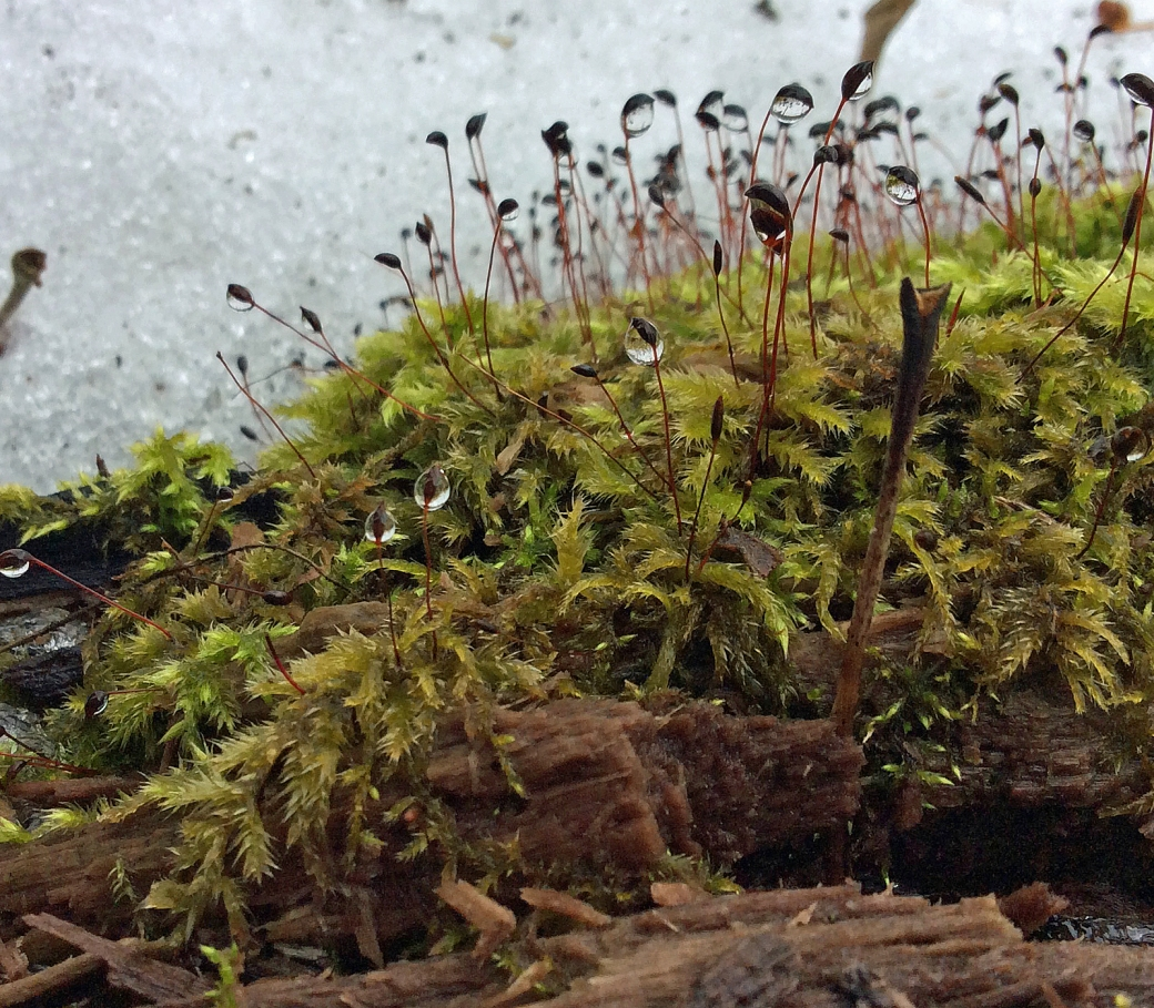 Moss with spores water drops2