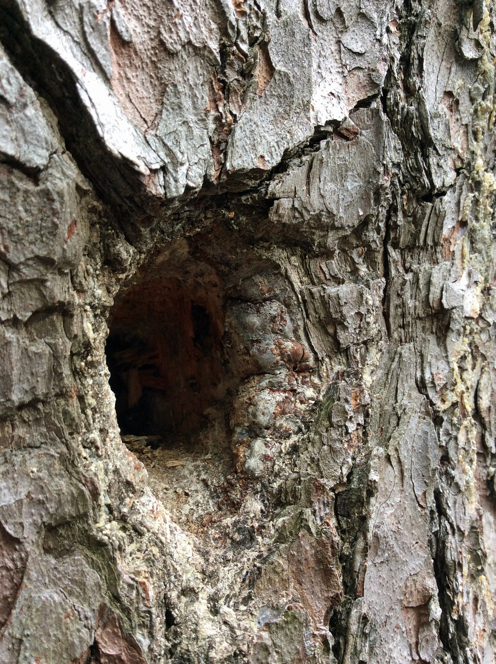 Pine white woodpecker hole5