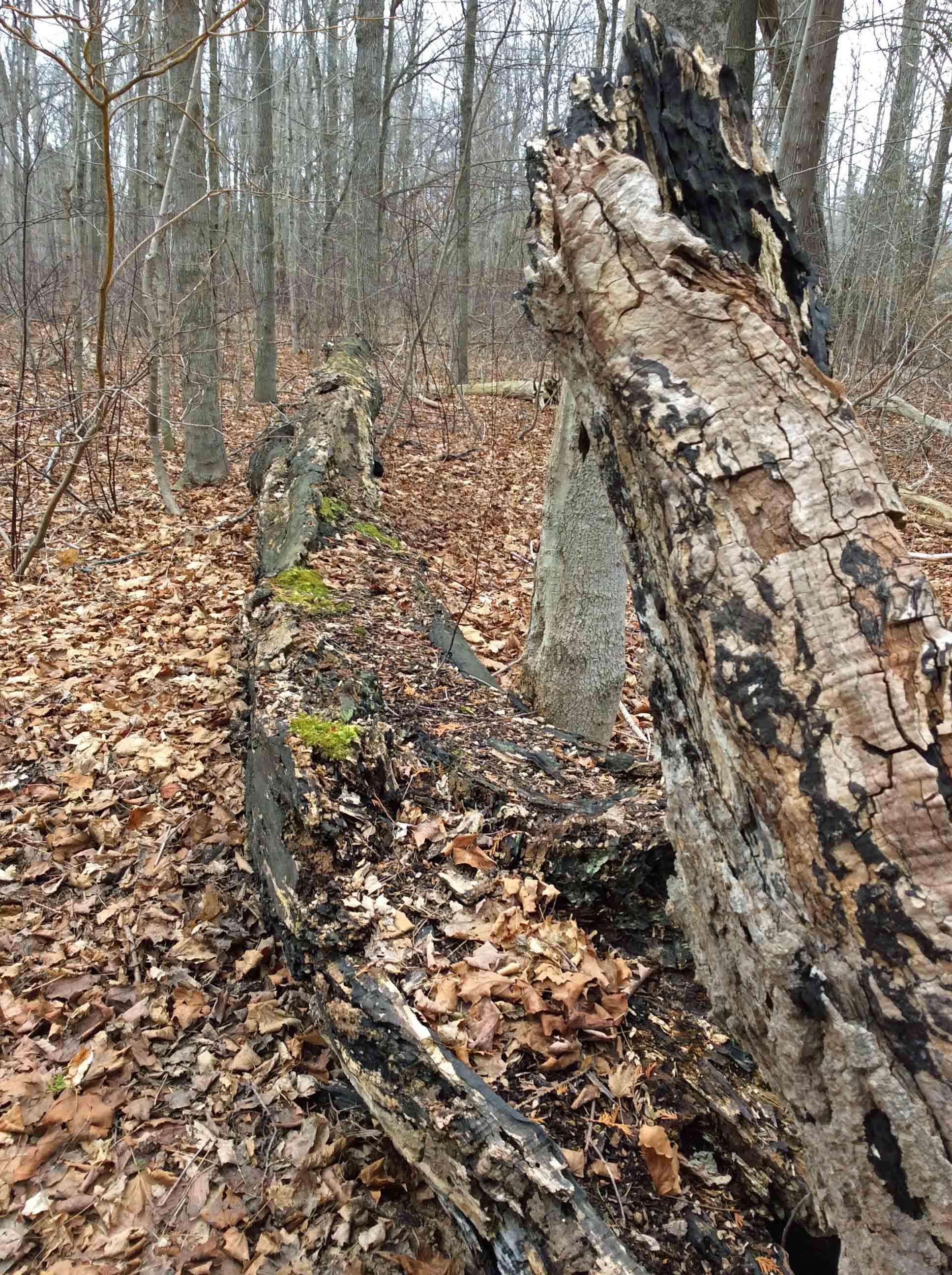 rotting maple log2