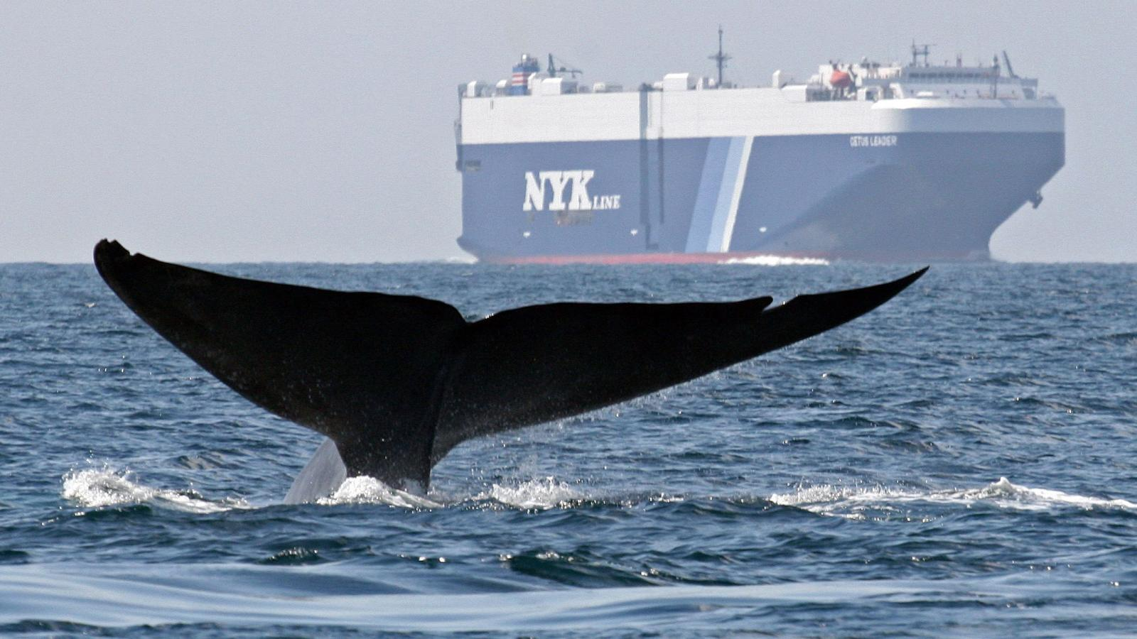 blue-whales-commercial-whaling-shipping-population-endangered-species-ocean-sea-whale-whaling-hunting-recovery