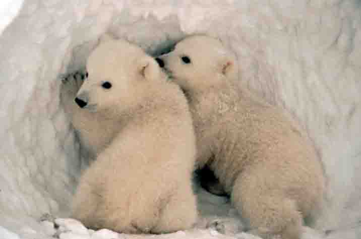 Baby polar bears in den