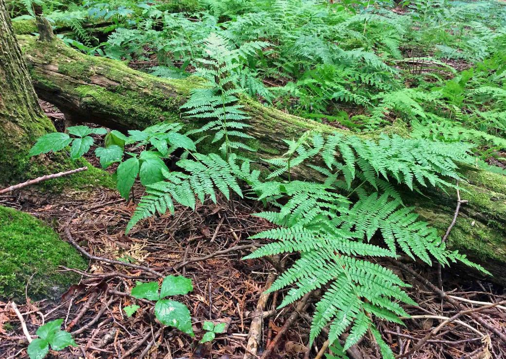 Fern wood fern fallen log w JC