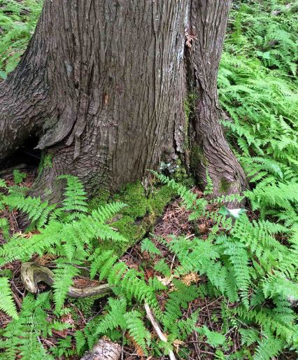 Fern woodfern Cedar JC