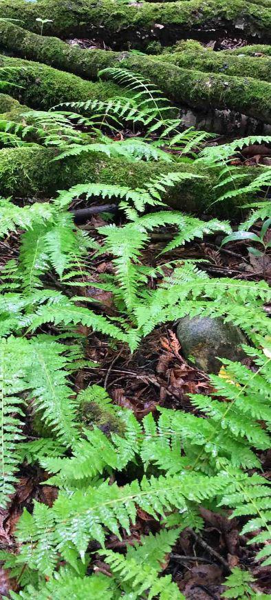 Fern woodfern moss logs JC