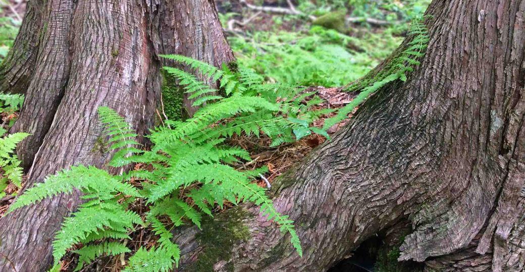 Fern woodfern two Cedars wide JC