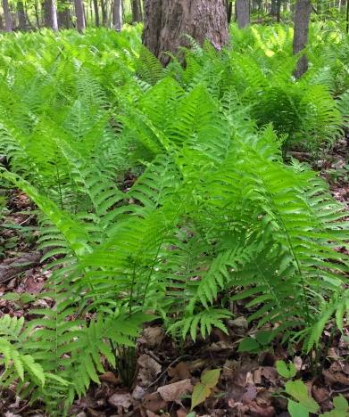 Ferns ostrich forest LR