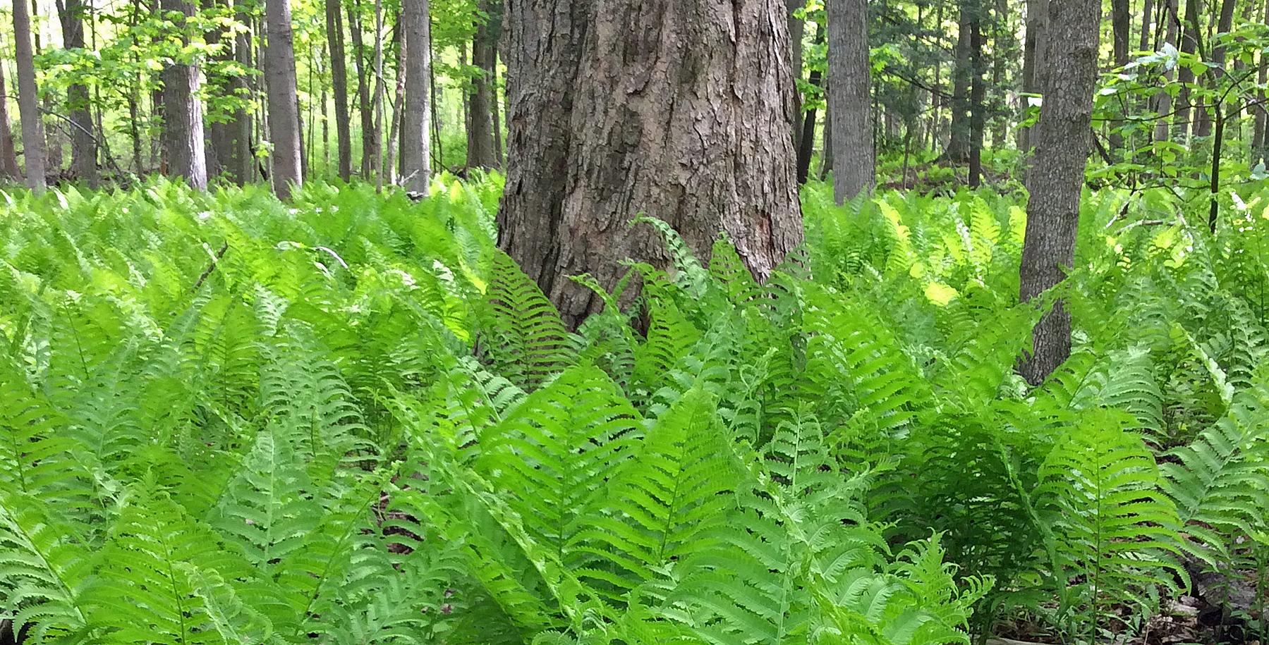 Ferns ostrich forest oak LR