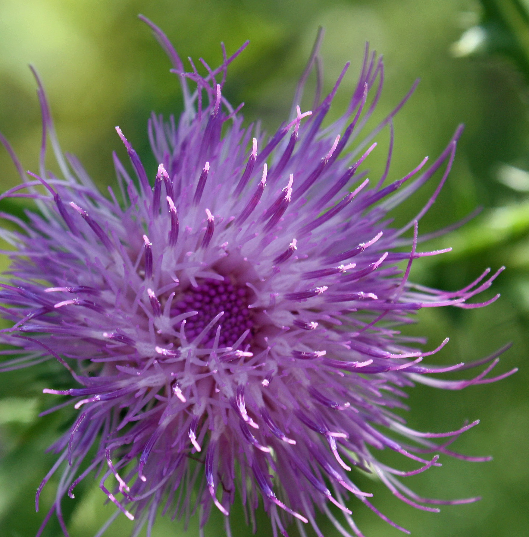 Thistle head on full of pollen close