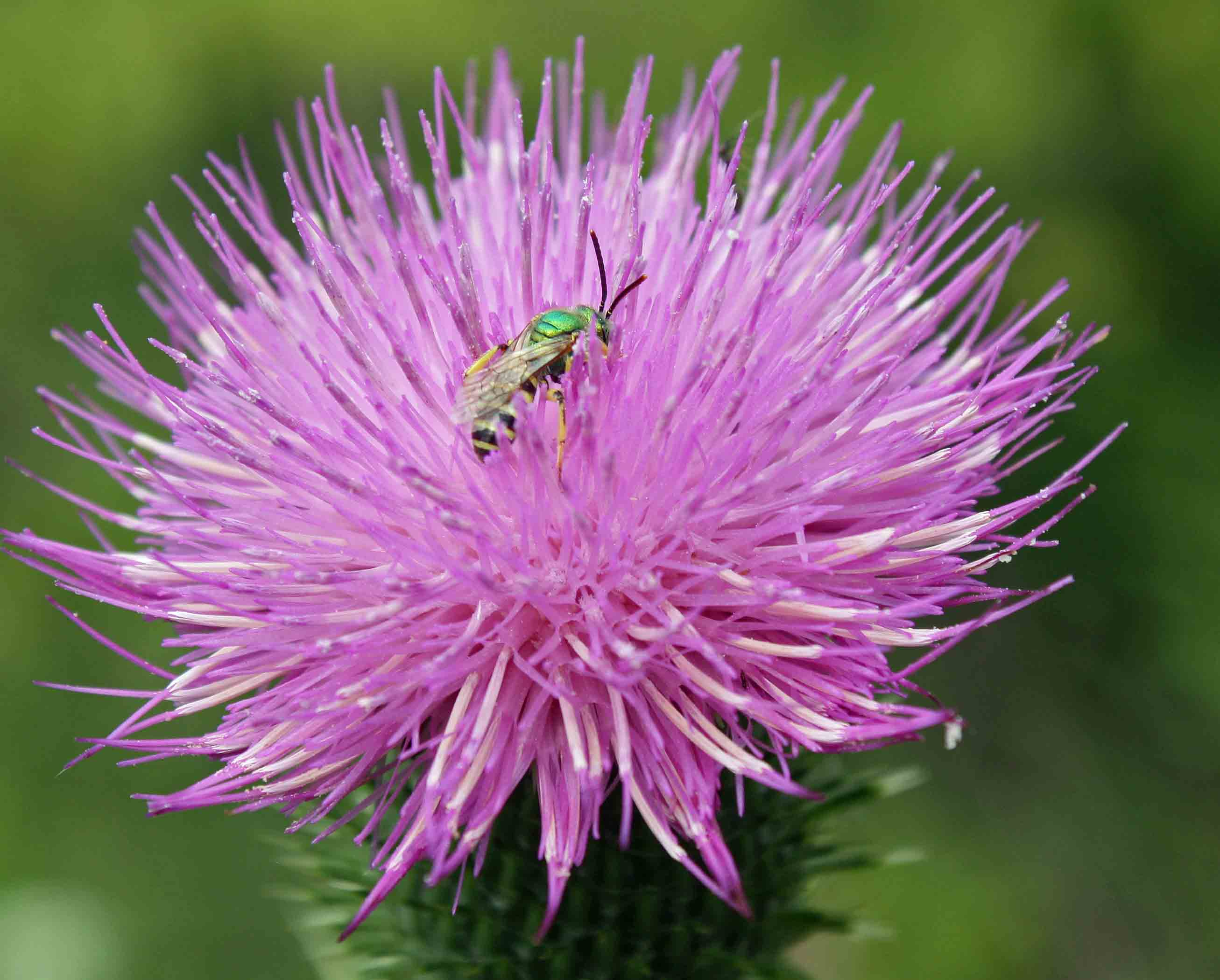 Thistle head sweat bee Pb copy
