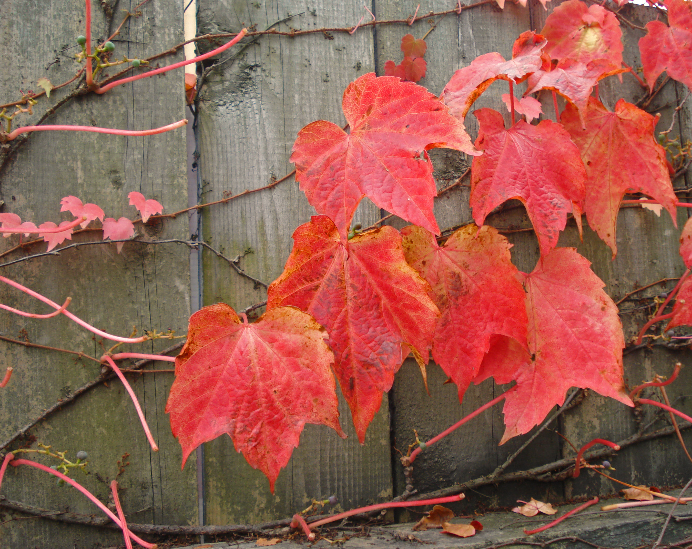 grape leaves in fall-halifax copy