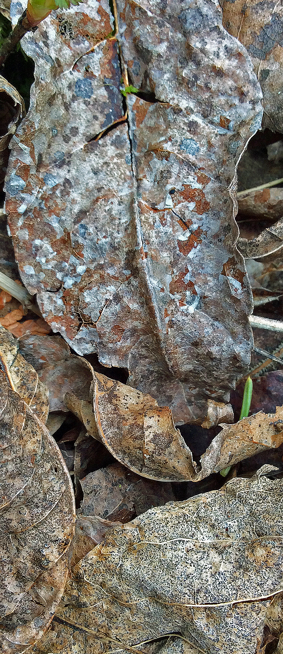 Leaves dead litter-long sh TNS